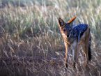 Black backed jackal Etosha