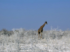 Giraffe in the white of Etosha dust