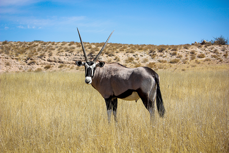 gemsbok-simon-cox